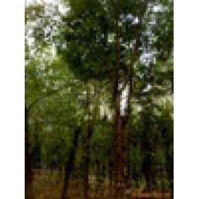 绿化苗木、皂角 皂角` 0(m)