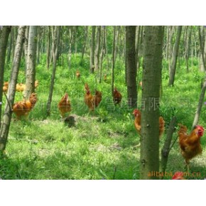 六石岩 白耳 草鸡  绿色食品