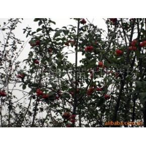 绿化苗木、北美海棠 北美海棠