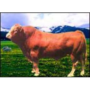 广西肉牛价格