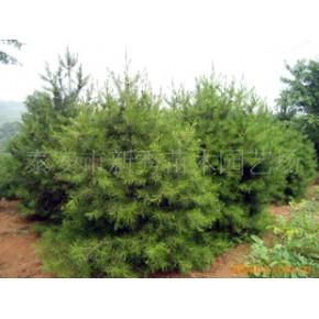 山东泰安绿化苗木、白皮松
