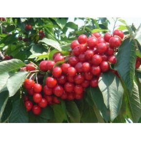 山东优质大樱桃树苗哪个品种好 寿光正大园艺专业合作社