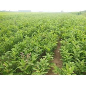育林板栗实生苗品种、规格齐全
