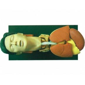 成人气管插管训练仿真模型 急救模拟人 医学模型
