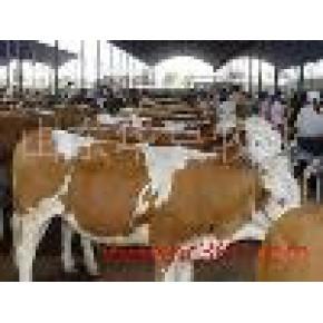西门塔尔肉牛的新行情,养殖技术