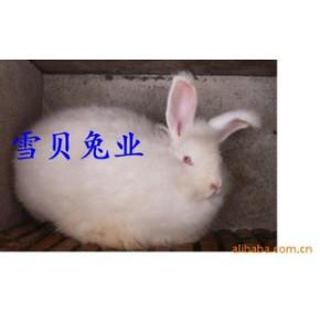 长毛兔 长毛兔 毛用兔 淮北