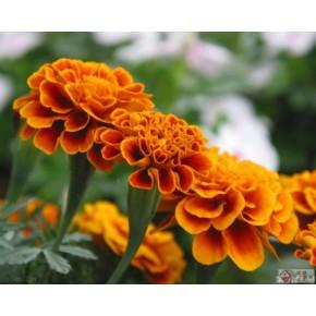 叶黄素生产指标