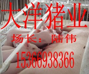 江苏大洋苗猪繁殖基地
