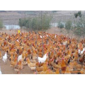 散养土鸡/山林放养 土鸡
