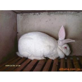 獭兔 獭兔 其他 0(kg)
