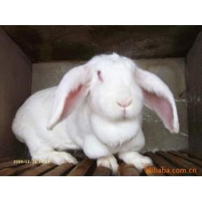 提供巨型白毛肉兔 其他 肉用兔