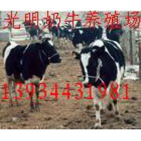 黑白花奶牛价格电话--光明养牛场供应