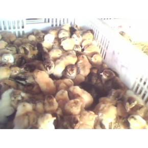 高产绿壳蛋麻鸡苗
