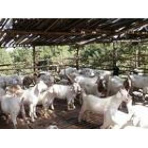 2012年肉羊行情分析息县放养肉羊圈养肉羊效益分析