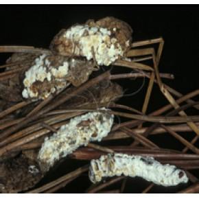 BM白僵菌(僵蚕专用)