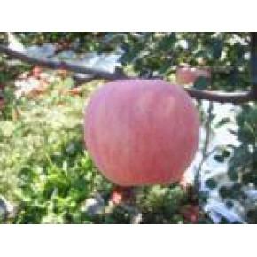 山东好的优质苹果树苗 价格多少