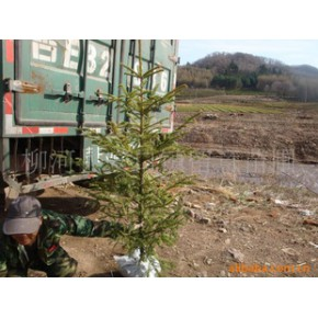 苗圃大量出售云杉树苗1--6米