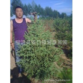 出售50cm以上青仟云杉45万,1.2米6万