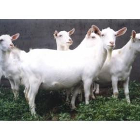 山东优质白山羊 波尔山羊 育肥山羊