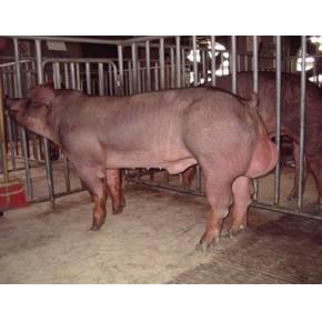 (康锦)沈阳大型种猪养殖基地 新专业技术养殖