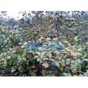 福建高产油茶苗-福建油茶树籽种苗-南平高产油茶苗繁育基地