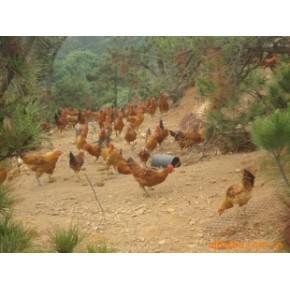 山林放养的公鸡,笨鸡 一级品