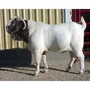 纯种小尾寒羊厂家 育肥小尾寒羊出厂价格 小尾寒羊行情市场