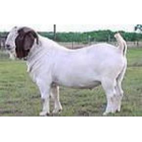 波尔山羊价格养羊基地