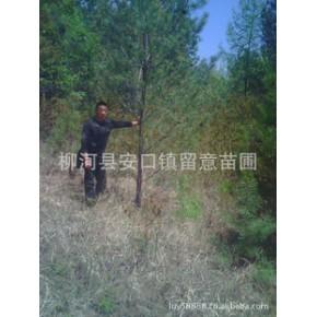 黑松、油松树苗 其他 绿色系