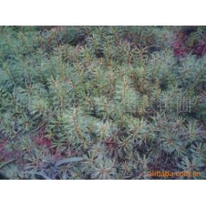 留意苗圃出厂价大量供应4年生红松树苗