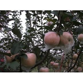 红富士苹果 苹果价格