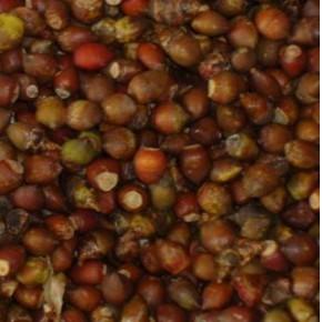批发:红豆杉种子,红豆杉种子价格,红豆杉种子批发价格