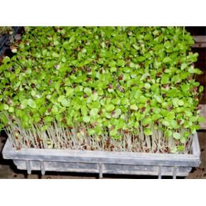 四季香椿芽无土栽培技术