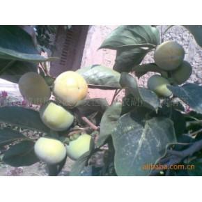 优质柿子 圆柿