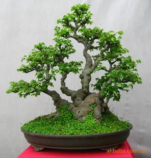 树木盆景 榆树盆景 树桩盆景 绿化造型大树