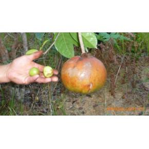 小金油茶果每公斤60元 报名