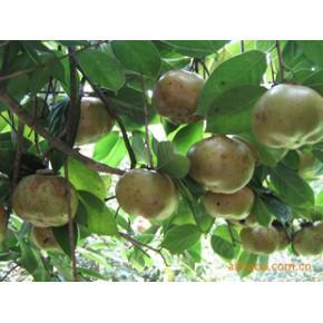 亩产红花大果油茶12000斤