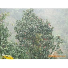 使你发家致富的红花大果油茶果,每公斤60元