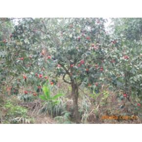 生产供应,现有的4~5年的丰产油茶树