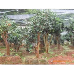 茶花600多株茶花园一个