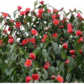 福建大果红花油茶苗,红花油茶基地,高产油茶树