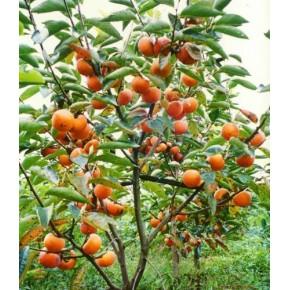 山东甜柿苗价格 寿光优质甜柿苗种植厂家 寿光正大甜柿苗热卖