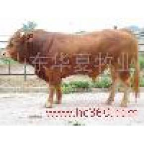 华夏畜牧业养殖合作社改良肉牛 杂交牛