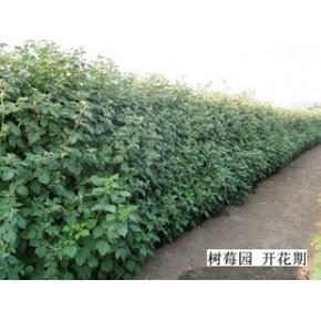 树莓丰产栽培管理技术 树莓