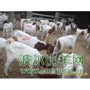 波尔山羊 山羊养殖 波尔山羊网2012年新养羊技术