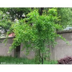 盆栽石榴树的种植方法