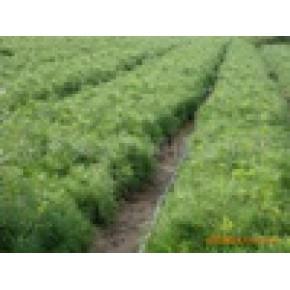 油松20cm小苗 种苗 地栽苗