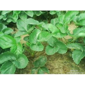 批发大棚草莓苗,盆栽草莓苗,优质草莓苗,便宜草莓苗