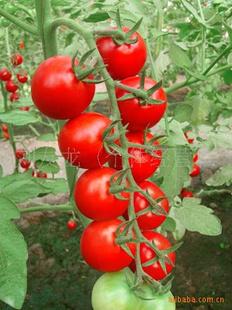 【新鲜番茄小串珠潍坊山东视频】_刘友龙(个人民币拼接番茄图片