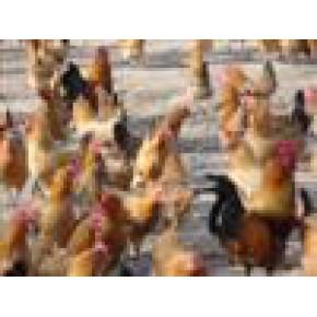 正宗农家散养土鸡 土鸡 95(%)